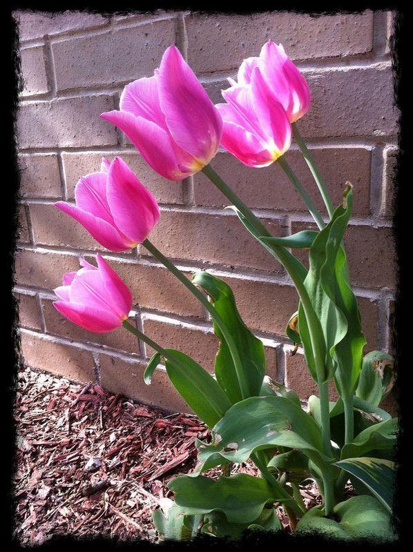 Les tulipes - Page 2 61c9d761
